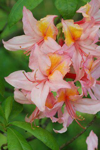 Rhododendron Pink_Orange