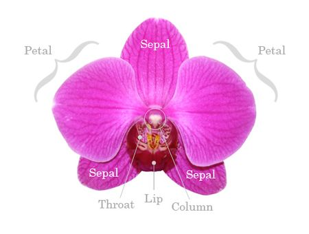 5-OrchidAnatomy3