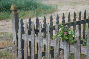 Windswept_fence_2